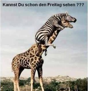 Kannst du schon den Freitag sehen. Ein Zebra sitzt auf dem Giraffen und guckt nach dem Freitag.